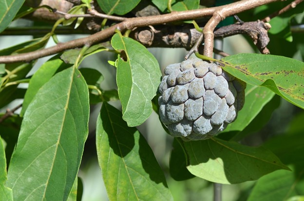 Sugar Apple 9-20-20