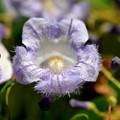 Jacaranda caerulea III 9-20-20