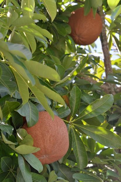 Photos: Water Chestnut 9-20-20