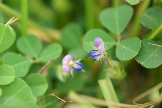 Threeflower Ticktrefoil I 10-1-20
