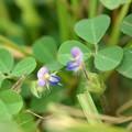 Threeflower Ticktrefoil II 10-1-20