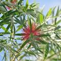 Bottle Brush Tree 9-20-20