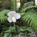 Paphiopedilum niveum 9-20-20