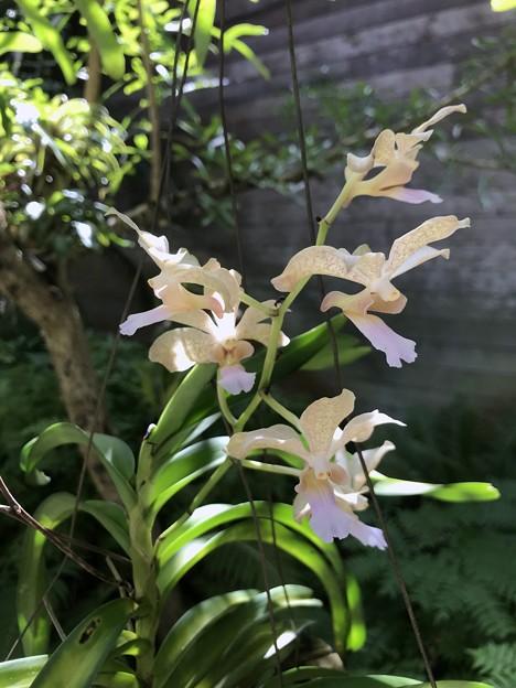 Dendrobiumかなぁ?