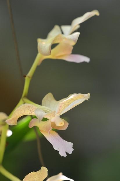 Dendrobium(多分) 9-20-20