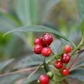 Wild Coffee (Bahama) 10-9-20