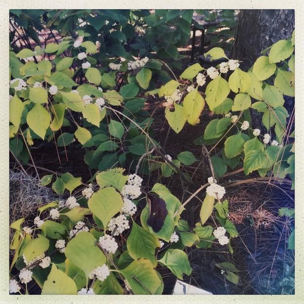 Beautyberry III 10-9-20