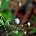 Melanthera nivea 10-9-20