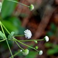 Photos: Melanthera nivea 10-9-20