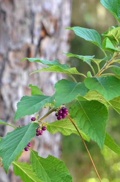 Beautyberry II 10-9-20