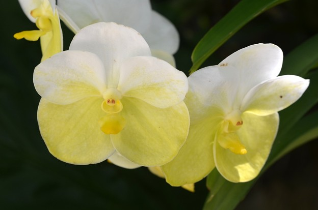 Vanda Orchid 9-20-20