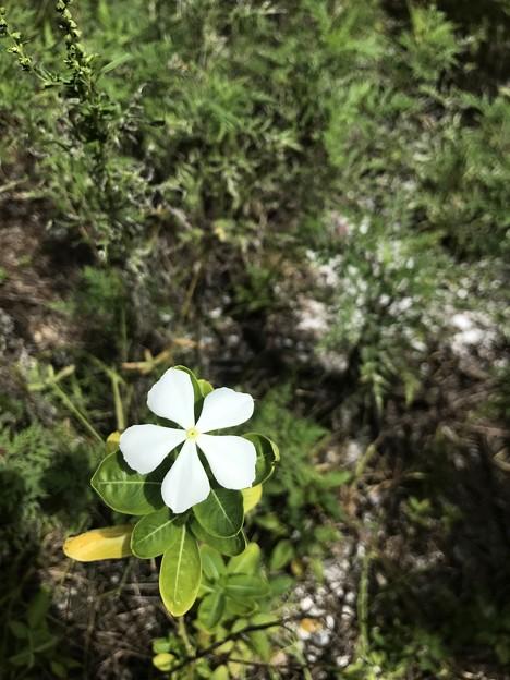 Catharanthus roseus 10-9-20