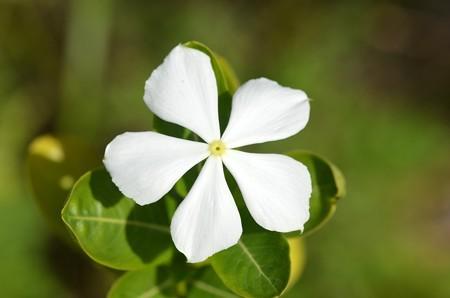 Madagascar Periwinkle 10-9-20