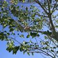 Bauhinia purpurea 11-28-20