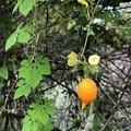 Balsam Pear 10-23-20
