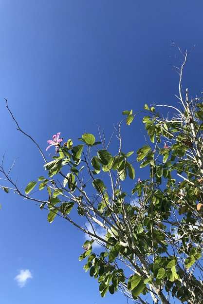 Orchid Tree 11-28-20