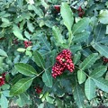 Brazilian Peppertree 12-11-20