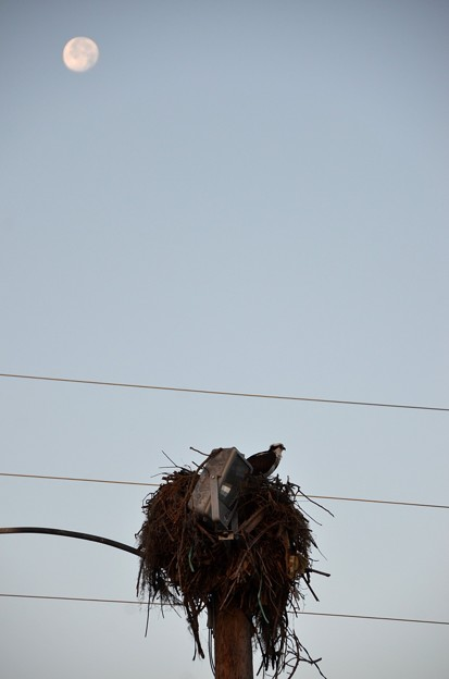Photos: Western Osprey and the Moon 1-1-21