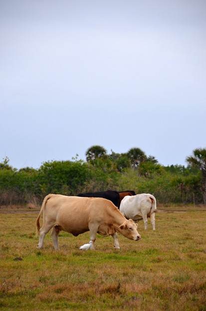 A Cow and a Cattle Egret 12-30-20