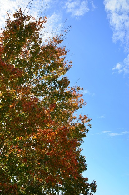 Maple Leaves and the Sky 12-31-20