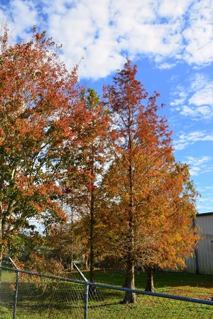 Bald Cypress trees 12-31-20