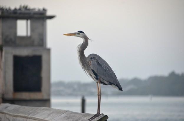Great Blue Heron 1-1-21