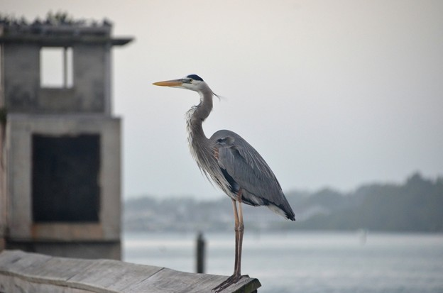 Photos: Great Blue Heron 1-1-21