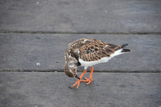 Ruddy turnstone 1-1-21