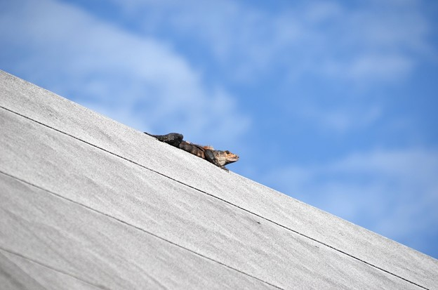 Black Spiny-Tailed Iguana on the Roof 12-31-20