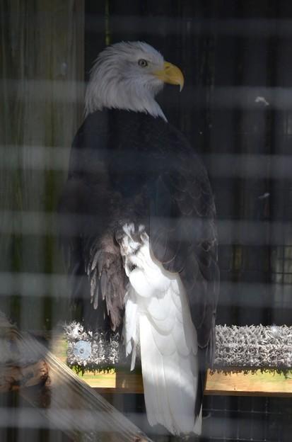 Bald Eagle 1-20-21
