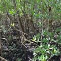 Photos: Mangroves III 1-20-21