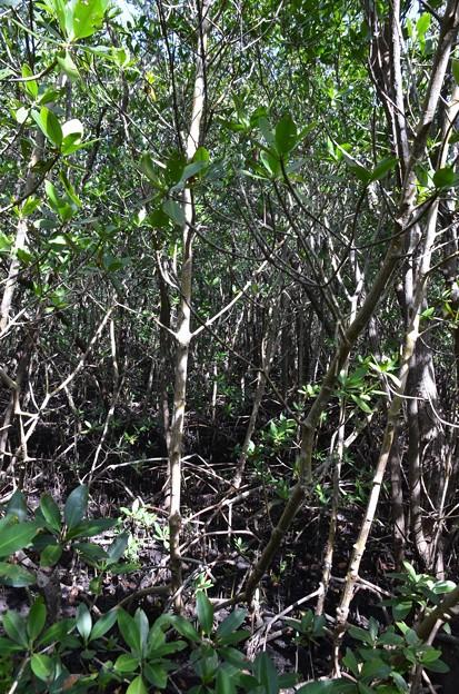 Mangroves IV 1-20-21