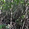 Photos: Mangroves IV 1-20-21