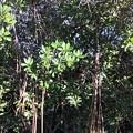 Photos: Red Mangrove
