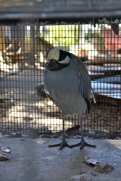 Yellow Crowned Night Heron 1-20-21