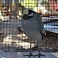 Photos: Yellow Crowned Night Heron 1-20-21