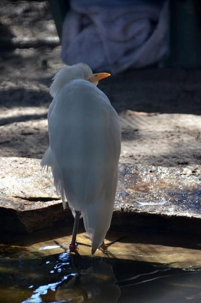Cattle Egret 1-20-21