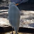 Photos: Cattle Egret 1-20-21