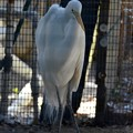 Great Egret 1 1-20-21