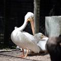 American White Pelican 1-20-21