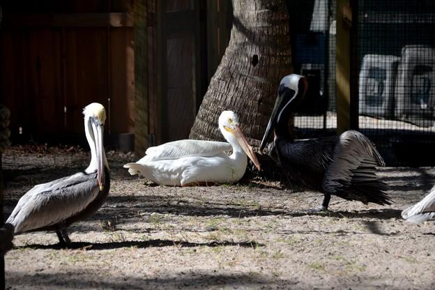 Pelicans 1-20-21