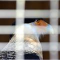 Photos: Crested Caracara 1-20-21