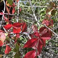 Virginia creeper 2-8-21