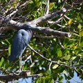 Little Blue Heron No1 2-10-21