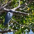 Little Blue Heron No1 2-10-21