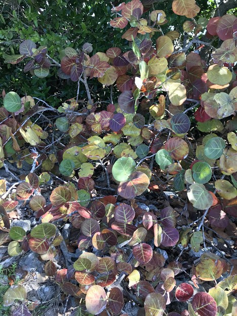 Seagrape leaves 2-10-21