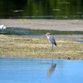Reddish Egret 2-10-21