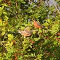 Photos: American Robins 2-12-21