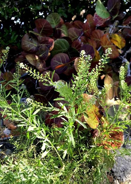 Virginia Pepperweed 2-10-21