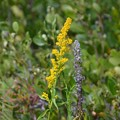 Seaside Goldenrod 2-10-21